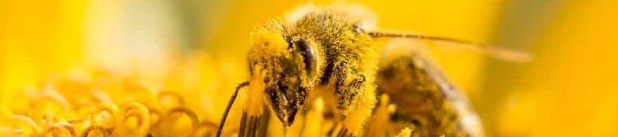 Bienen mit gelben Blütenstaub_shutterstock.1fae67b3492f59fc9a620f28440ef1a4